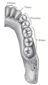 lower_dentalarch