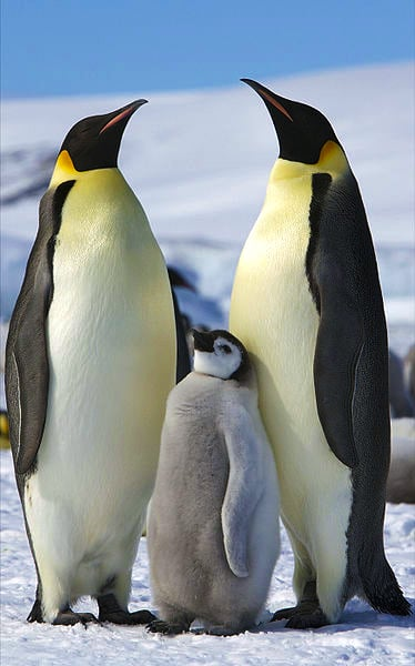 Emperor_Penguins_-Snow_Hill_Island,_Antarctica_-adults_and_juvenile-8